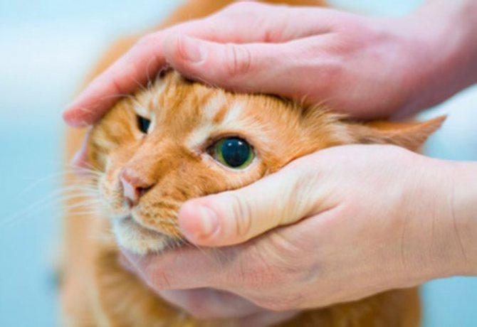 Чем лечить конъюнктивит у кота в домашних условиях?