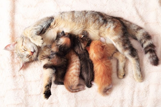 Чем лечить мастит у кошки