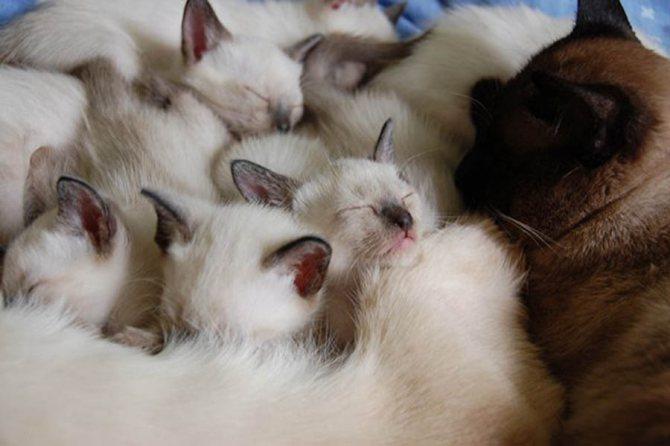 Чем лучше кормить кормящую котят тайскую кошку
