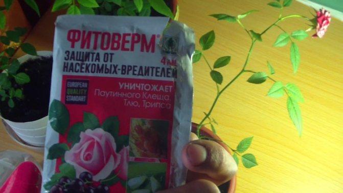 Чем обработать комнатную розу от паутинного клеща?