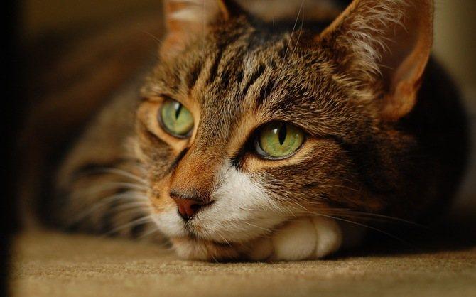 Чем обработать рану у кошки для быстрого заживления