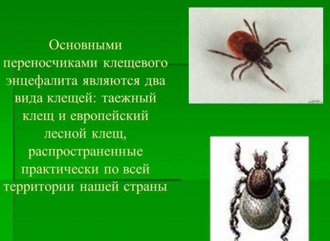 Чем опасен лесной клещ для человека и как с ним бороться? lesnoy_klesh_obshie_svedenniya
