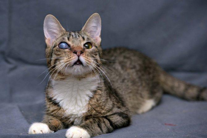 Чем опасно появление третьего века у кошек