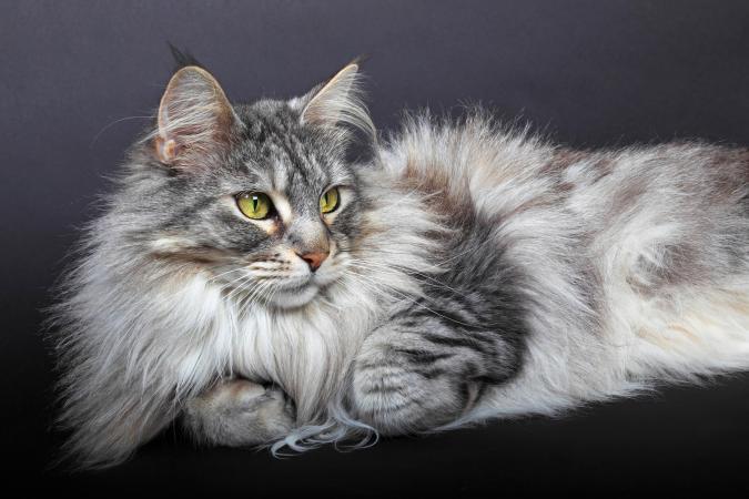 Чем опасны колтуны у кошек