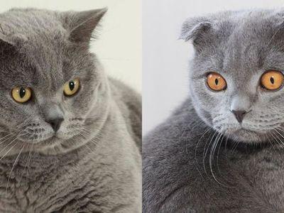 Чем отличается британская порода кошек от шотландской
