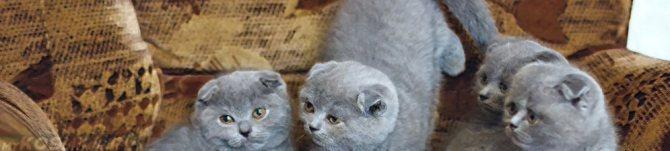 Чем отличается британский вислоухий кот от шотландского
