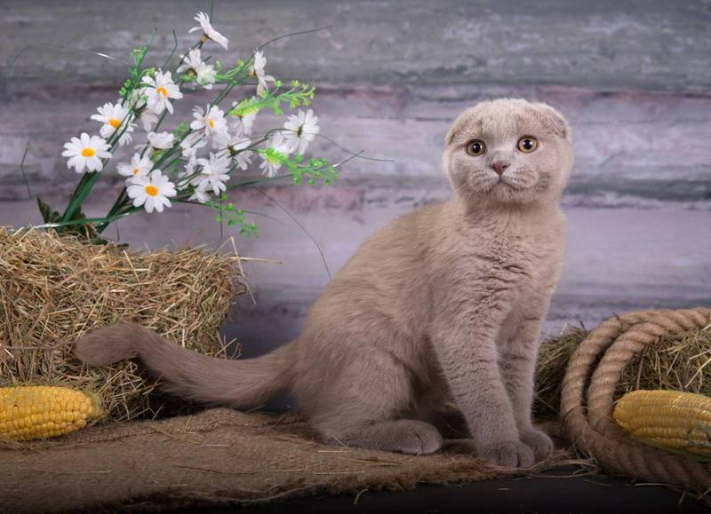 что мало отличие шотландских котят от британских фото путь людей