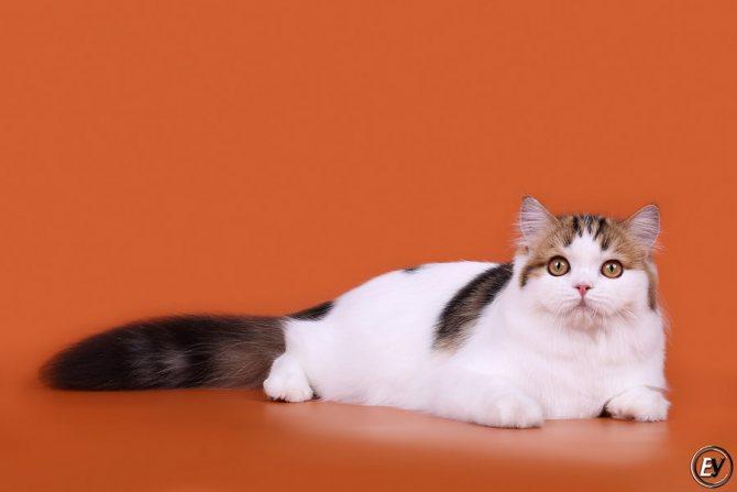 Чем отличаются британские коты от шотландских: фото шотландца