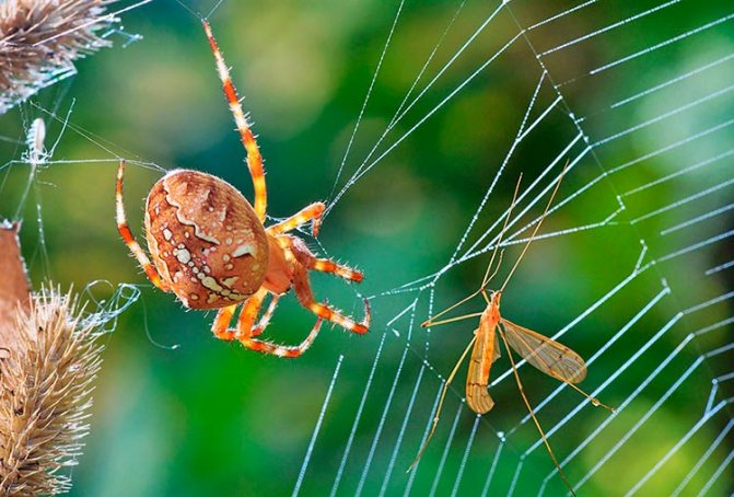 Чем питается паук крестовик?