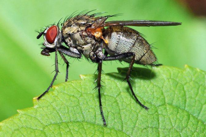 Чем питаются различные виды мух в том числе что ест домашняя муха и их личинки