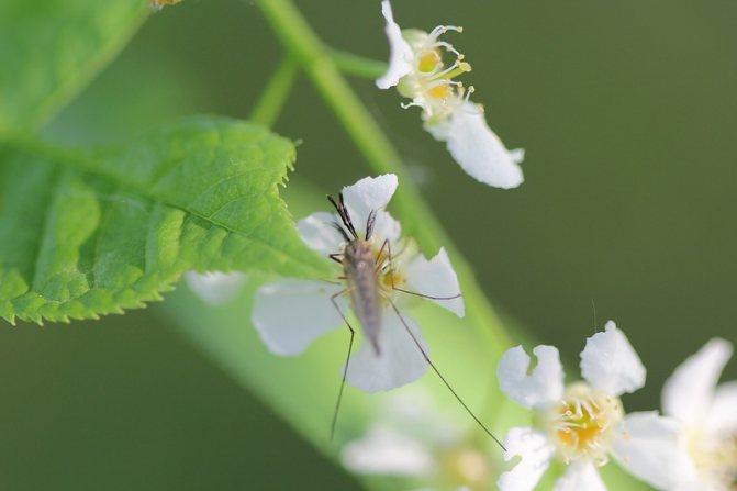Чем питаются самцы комаров2.jpg