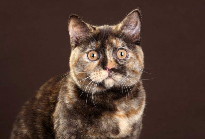черепаховый окрас британской кошки
