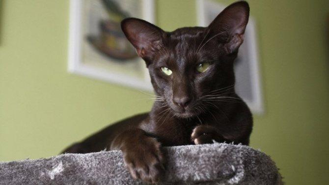Черна с зелеными глаза ориентальная кошка
