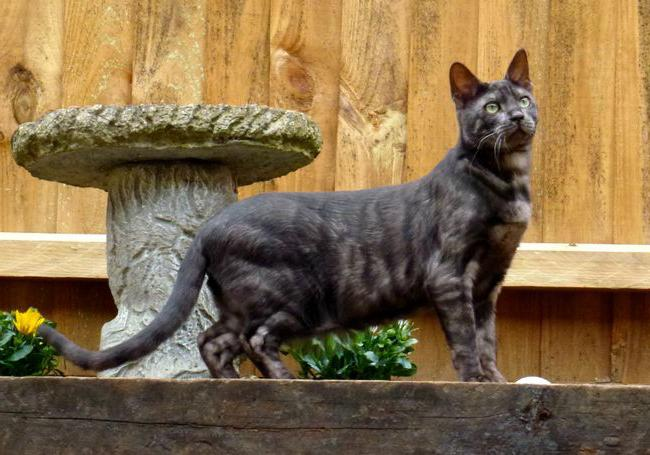 Черная бенгальская кошка