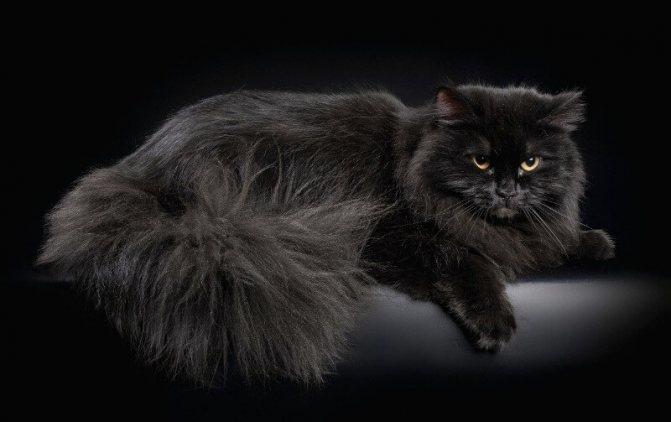 черная сибирская кошка