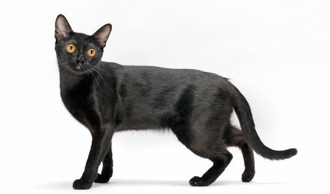 черные кошки породы фото
