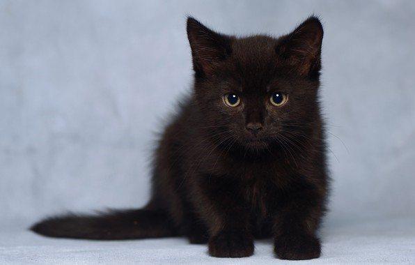 Чёрные котята сразу же рождаются с угольной шерсткой
