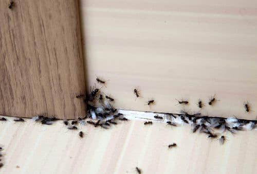 Чёрные муравьи