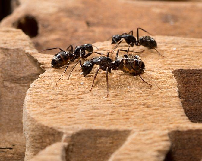 Черные садовые муравьи питаются тлей