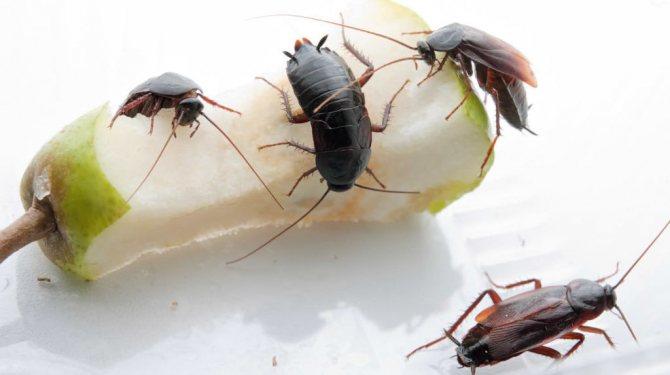 Чёрные тараканы с лёгкостью переваривают тяжёлую пищу