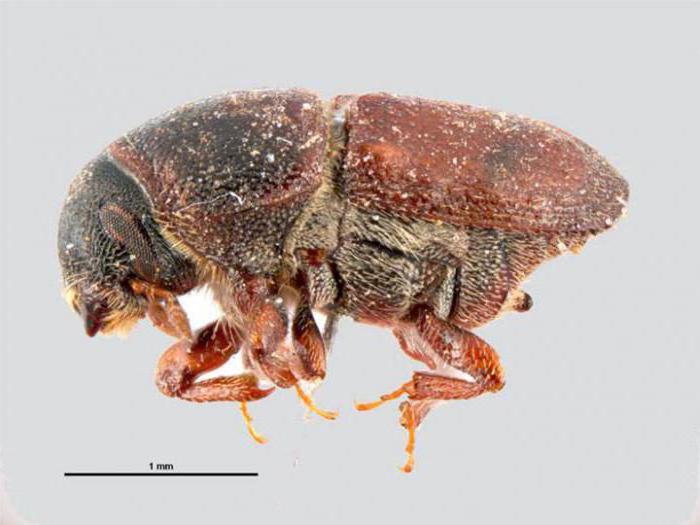 черные жуки виды