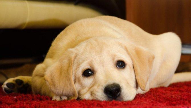 Черный акантоз (черные пятна) у собак: лечение темных точек на коже
