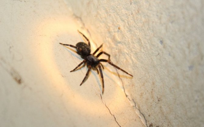 Чёрный домашний паук