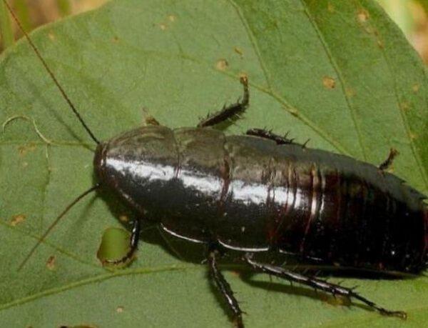 Черный или подвальный таракан