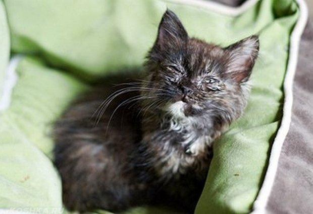 Черный котик болеющим микоплазмозом с гнойными выделениями