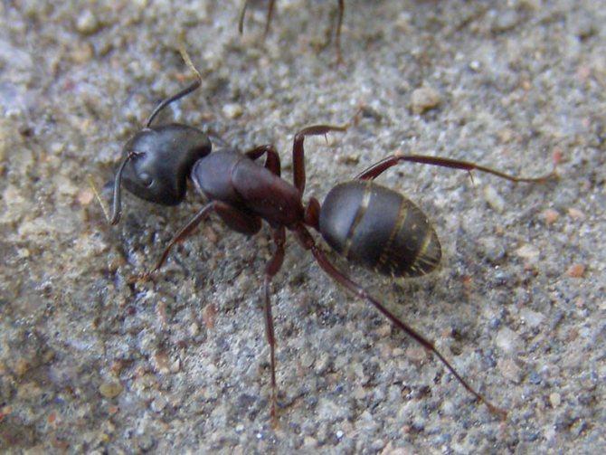 Черный муравей древоточец