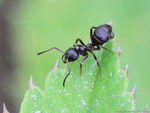 чёрный садовый муравей