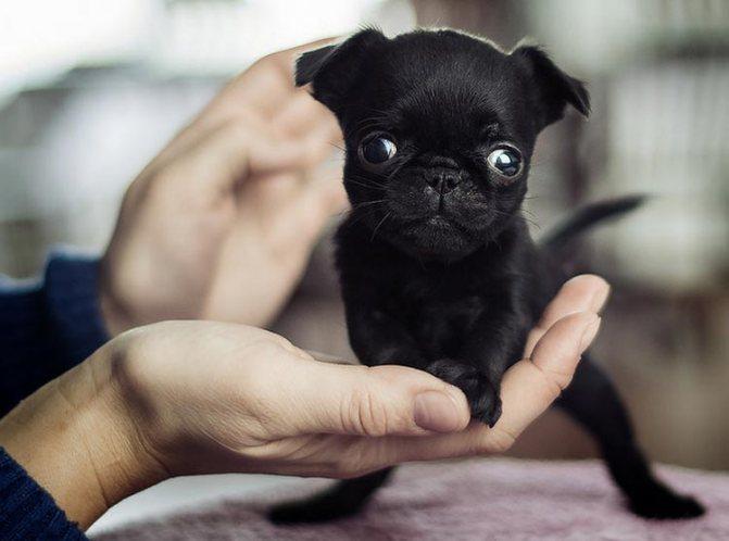 черный щенок пти-брабансона