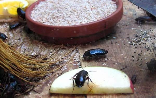 Чёрный-таракан-насекомое-Описание-особенности-виды-образ-жизни-и-среда-обитания-таракана-11