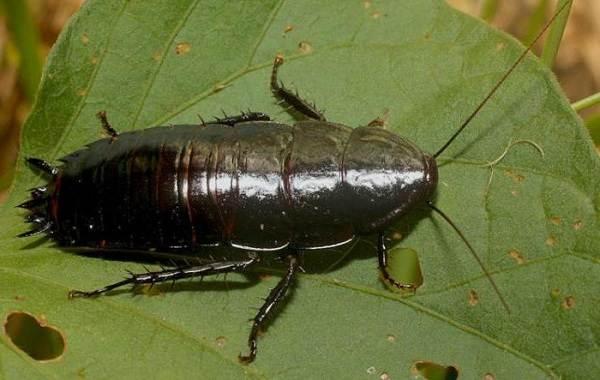 Чёрный-таракан-насекомое-Описание-особенности-виды-образ-жизни-и-среда-обитания-таракана-12
