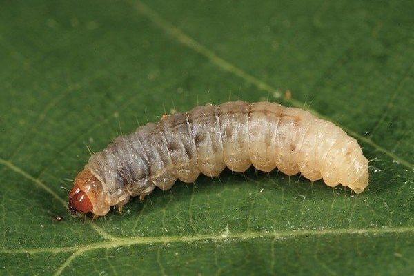 червяк на листу