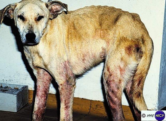 Чесотка у собак: диагностика, симптомы и лечение