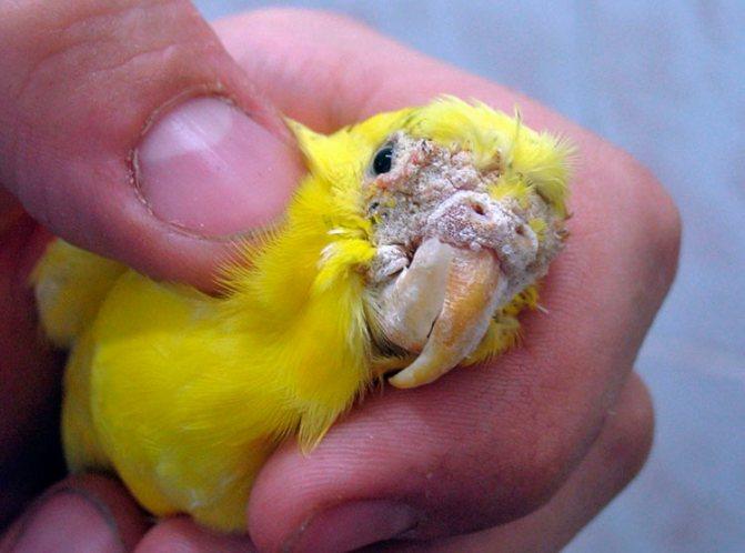 Чесоточный клещ у попугая – признаки и лечение чесотки
