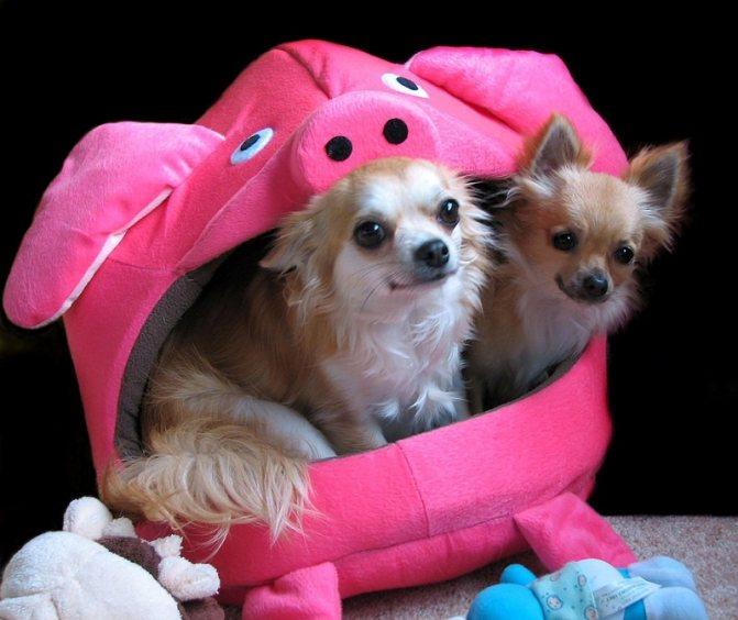 Чихуахуа - самая маленькая порода собак в мире. фото
