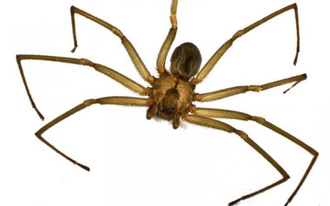 Чилийский паук-отшельник (Loxosceles) Паук-отшельник приобрел дурную славу, после того как в Сети появилось огромное количество фотографий с последствиями его укусов. Его яд, проникая в кровь, вызывает гангренный струп на месте укуса, тошноту и лихорадку. В редких случаях приводит к смерти. Коричневый паук-отшельник на самом деле не агрессивен и атакует человека, только защищая свою территорию. Обитает в Северной Америке.