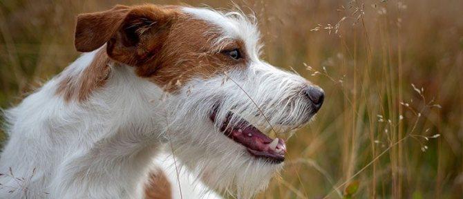 Чипирование собаки