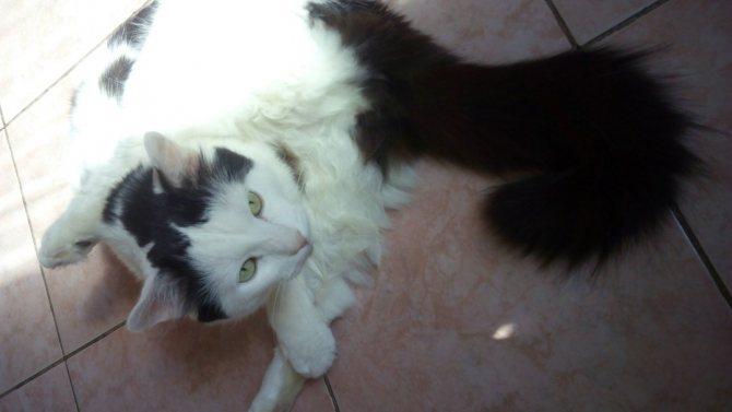 Чистка параанальных желез у кошек в домашних условиях. Самостоятельное очищение параанальных желез у кошек