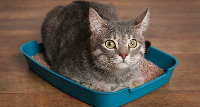 Чисто и без запаха: как правильно чистить кошачий лоток
