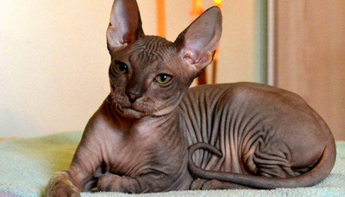 Чистокровная кошка породы лысой донской