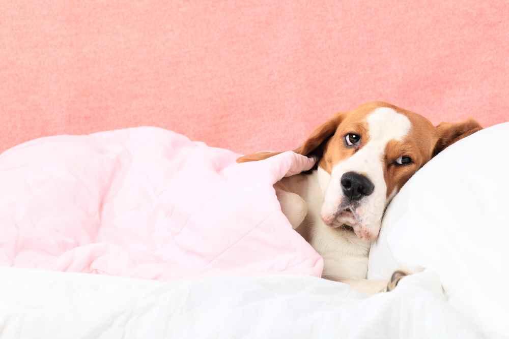 Что дать собаке от боли
