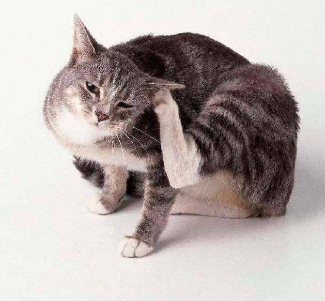 Что делать если кошка расчесала шею до крови
