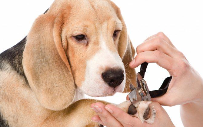Что делать если подстригая когти собаке вы подорвали коготь