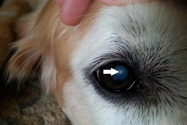что делать, если появилось бельмо на глазу у собаки