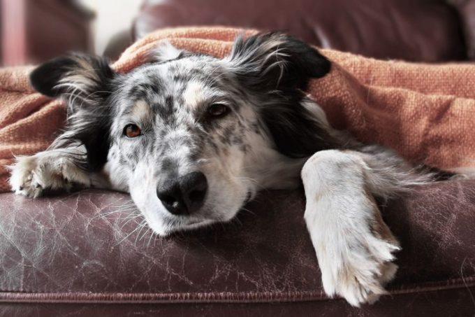 что делать если собаки появился стафилококк