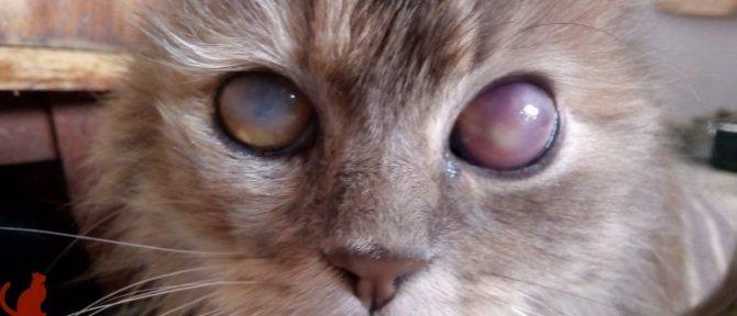 Что делать если у кота сильно опух глаз