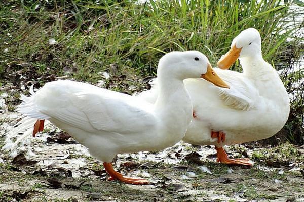Что делать, если утки выщипывают перья друг у друга?